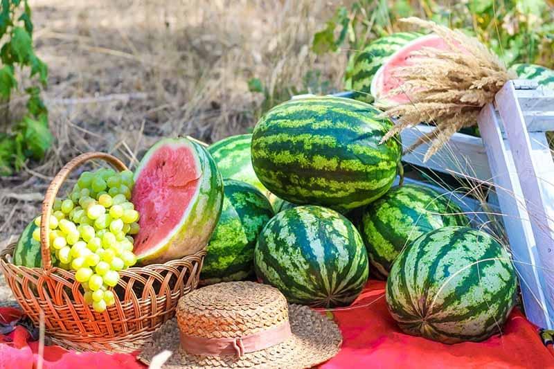 Dưa Hấu (cách trồng, chăm sóc và tác dụng của dưa hấu) - AZ Farming
